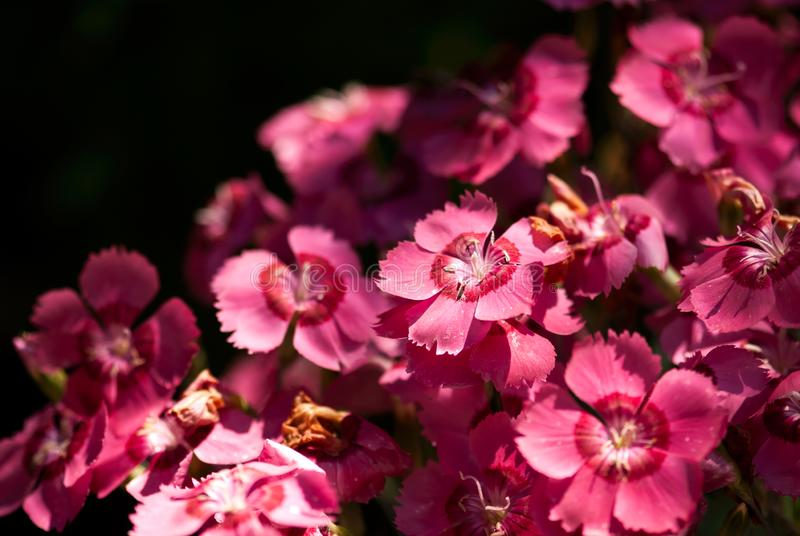 Pink Dianthus Flowers. A mass of vibrant, pink dianthus flowers bloom against a dark background stock photo