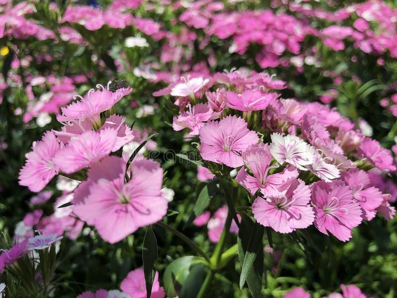 Pink dianthus flowers. Medium wide garden shot with blooming bright pink dianthus flowers stock image