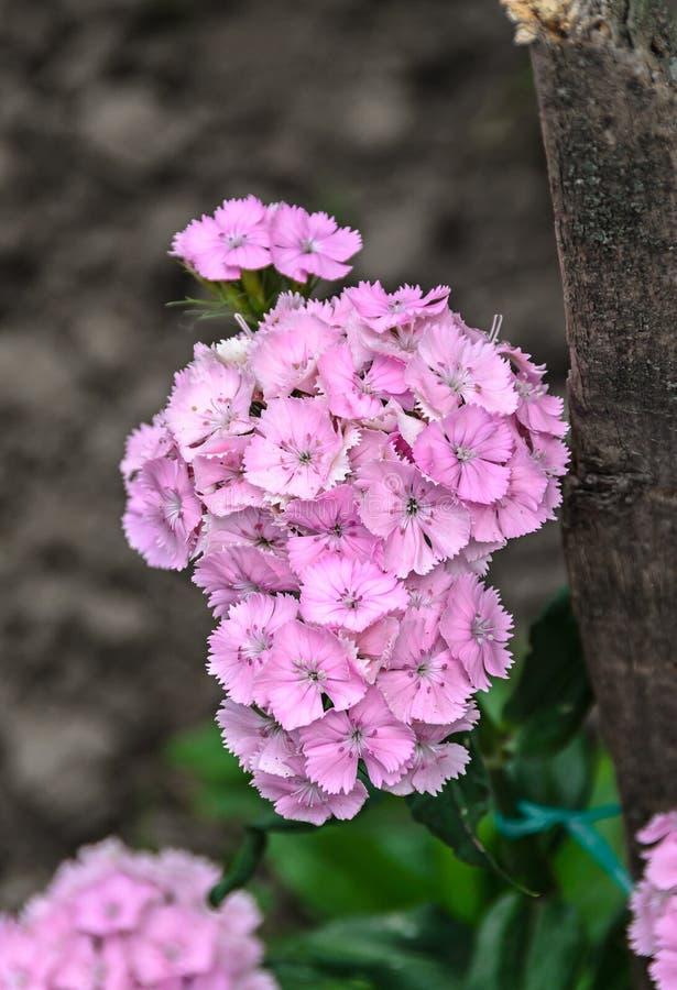 Pink Dianthus flowers plants, outdoor garden, close up.  stock photos