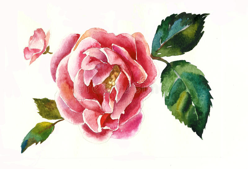 Pink dogrose twig with leaf poriginal rose watercolor royalty free illustration