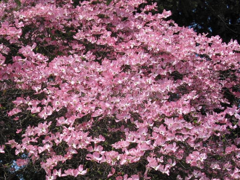 Pink Dogwood Tree royalty free stock image