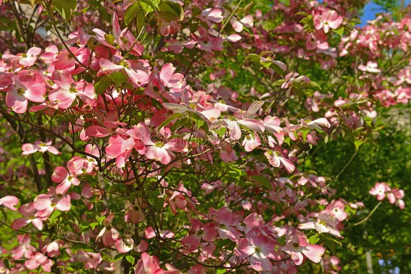 Pink dogwood, type of flowering tree that produces brightly colored pink flowers. Scientific name for pink dogwood is Cornus Flori royalty free stock photography
