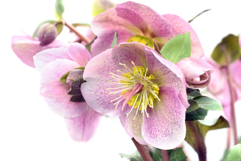 Pink dotted hellebore flower on white background stock photography