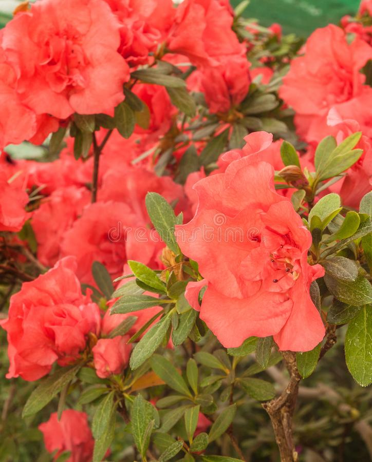 Pink double azalea rhododendron in the greenhouse stock image