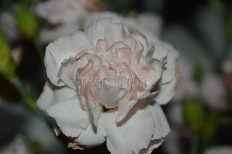 Download Pink Double Carnation Close Up Stock Photo - Image of lovely, petals: 84024002