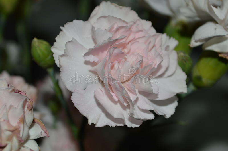 Download Pink Double Carnation Close Up Stock Image - Image of fringe, inside: 84016867