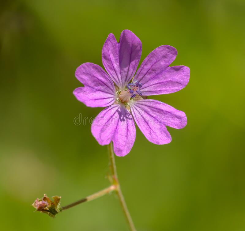 Pink Dove`s-foot Crane`s-bill or Dovesfoot Geranium geranium molle flower. Detail stock photography