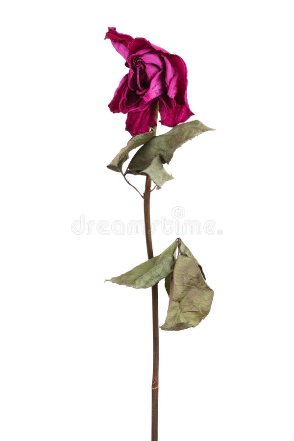 Pink dried rose. On a white background royalty free stock photos