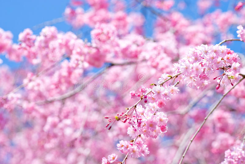 Download Pink Drooping Cherry Blossoms Stock Image - Image: 15512657