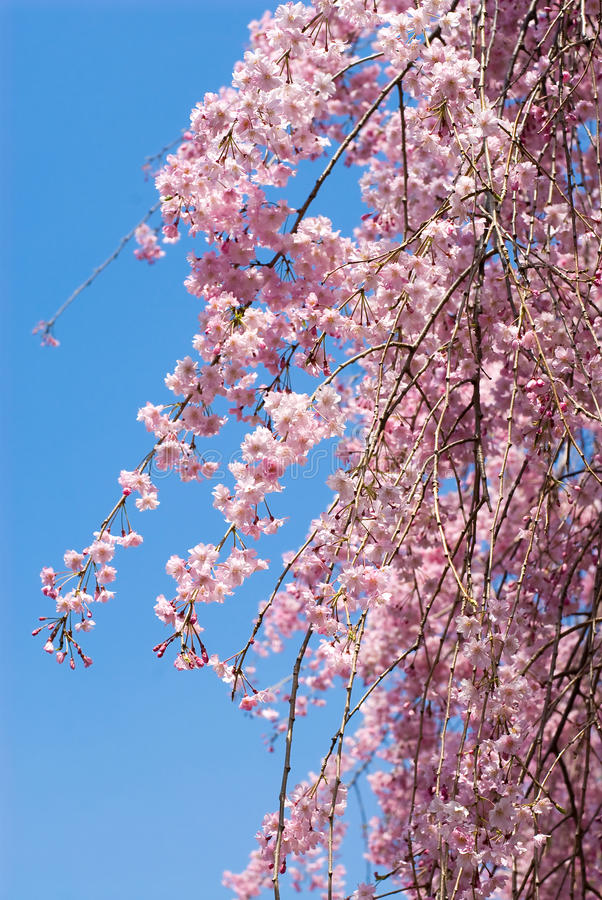 Download Pink Drooping Cherry Blossoms Stock Image - Image: 16449467
