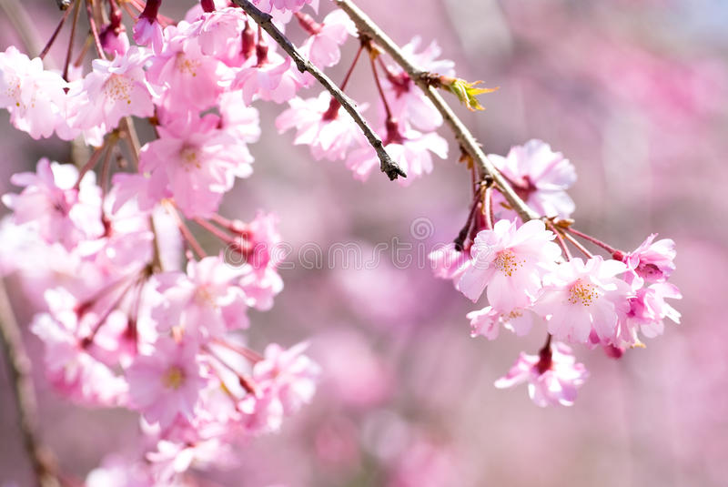 Download Pink Drooping Cherry Blossoms Stock Photo - Image: 16449572