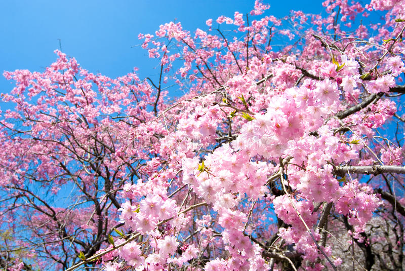 Download Pink Drooping Cherry Blossoms Stock Photo - Image: 16449628
