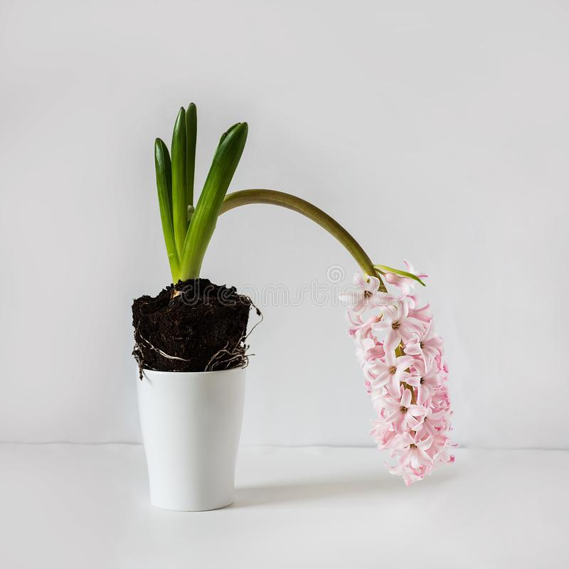 Pink dropped weak hyacinth blooming plant on empty white background front view with copy space. Botanic. Square with copy space. Light Pink weak hyacinth royalty free stock photos