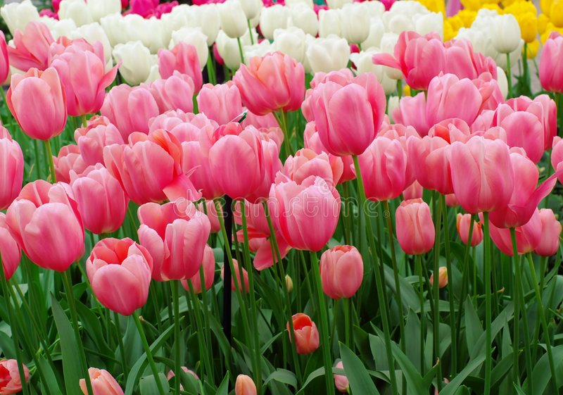 Pink dutch tulips stock image