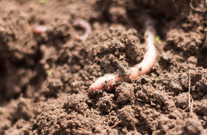 Pink earthworm in moist loamy soil,close-up stock image