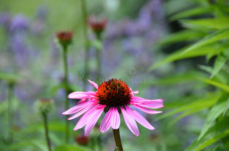 Pink Echinacea cone flower single flower bud. stock photo