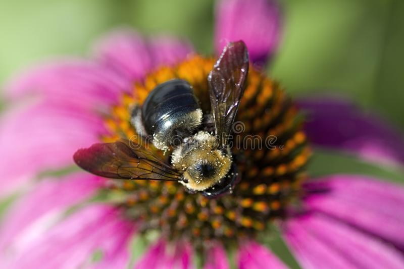 Pink Echinacea Coneflower and Bumble Bee Closeup stock images