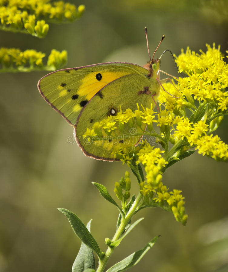 Free Pink Edged Sulphur Butterfly (Colias Interior) Royalty Free Stock Image - 44061096