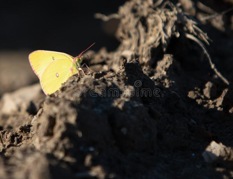 Pink-edged Sulphur Butterfly Resting on Dirt stock images