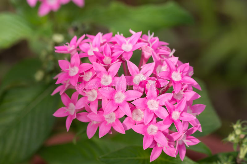 Pink Egyptian Star Cluster flowers. Pink Egyptian Star Cluster or Pentas Lanceolata flowers royalty free stock photos