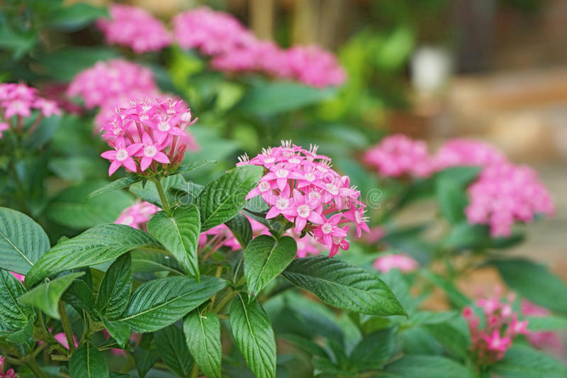 Pink Egyptian Star Cluster flowers. Or Pentas Lanceolata in garden stock photography