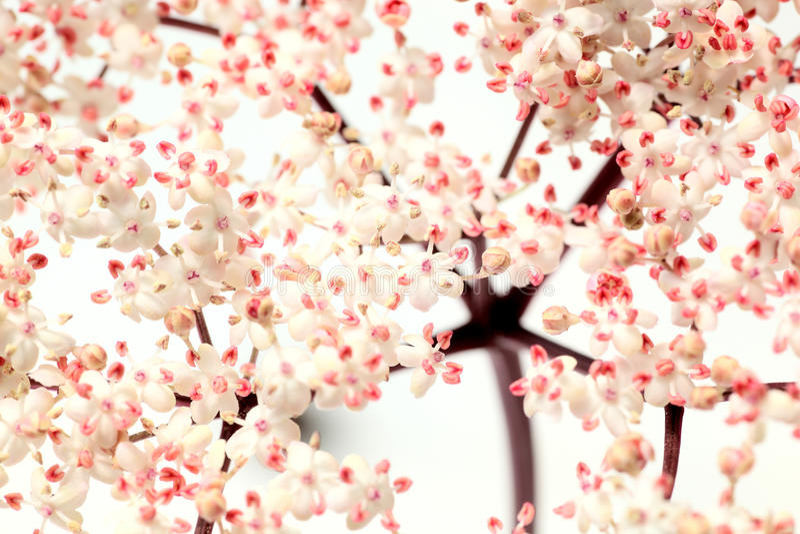Download Pink elder flowers stock photo. Image of detail, summer - 11059938
