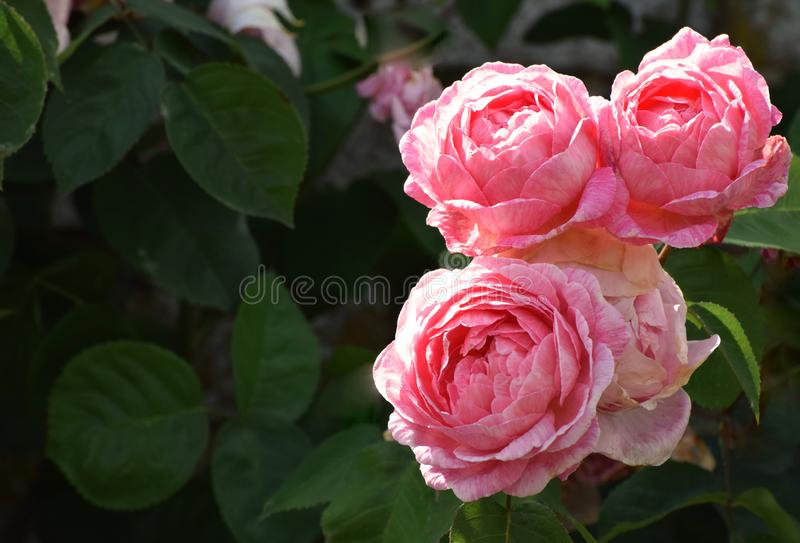 Pink English Roses antique flowers. An English roses rambling bush in bloom with pink antique rose blooms stock photo