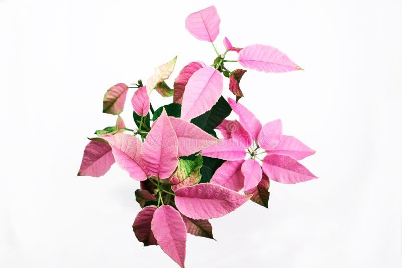 Pink Euphorbia pulcherrima isolated on white stock images