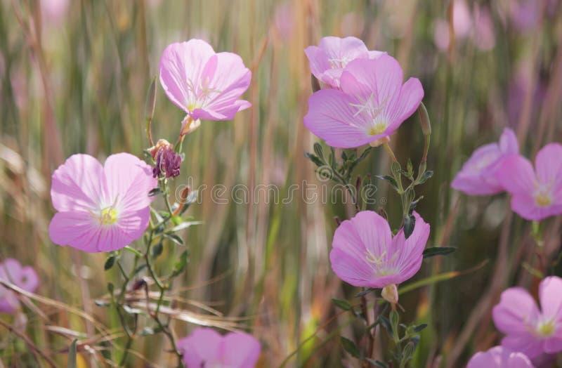 Pink evening primrose stock photo