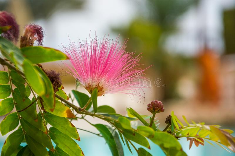Pink exotic flower - Albizia julibrissin. Persian silk tree royalty free stock images