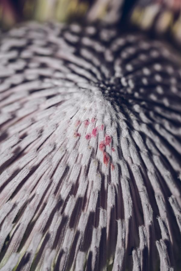 Pink exotic King protea flower macro still detail of petals isolated on a solid black background stock image
