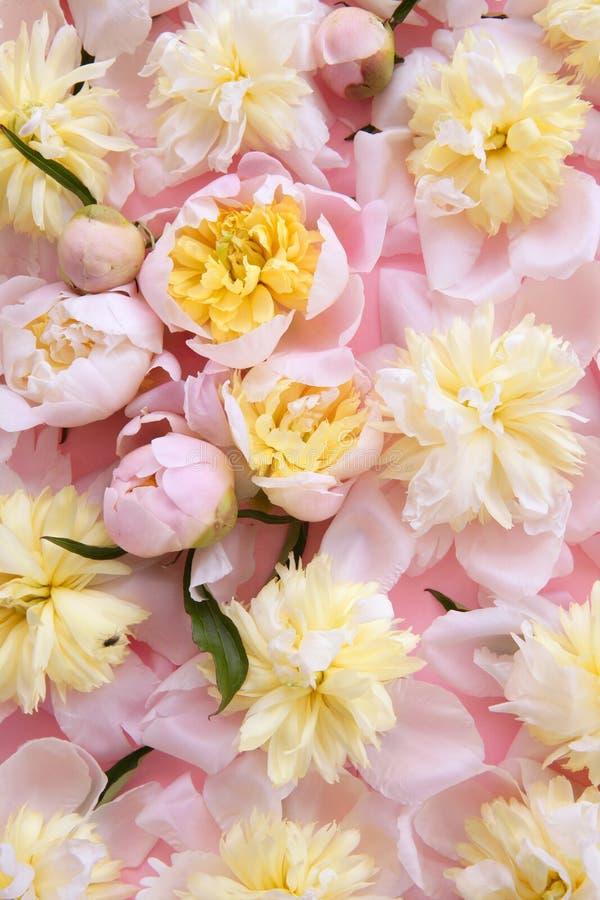 pink färgrika blommor för bakgrund yellow royaltyfria bilder