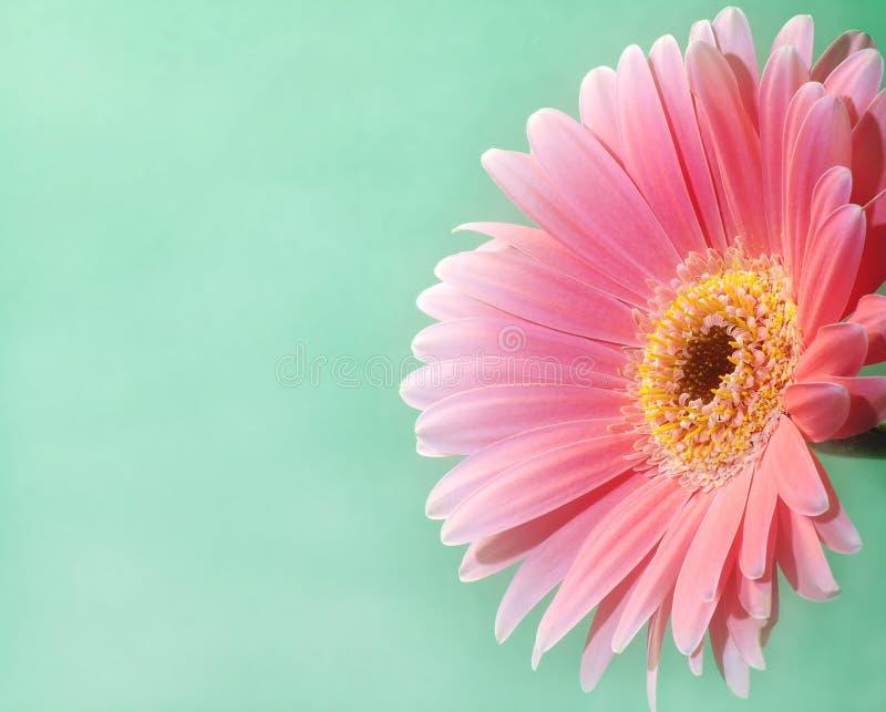 pink för 2 gerbera arkivbild
