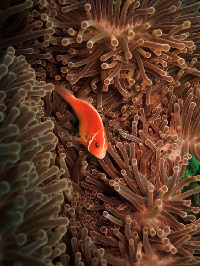 pink för perideraion för amphiprionanemonclownfish arkivbilder