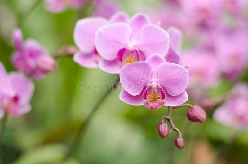 Pink Farlane orchid. (Warin Falanenopsis royalty free stock image