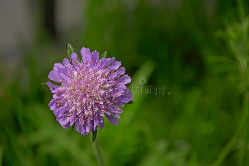 Pink field scabious flower - Knautia arvensis royalty free stock photo
