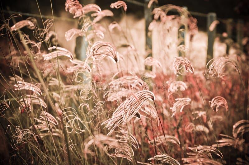 Pink field. Field very beautiful pink lush and flashy stock image