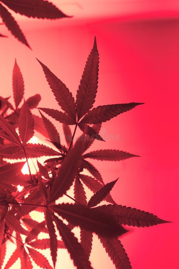 Pink Light Marijuana Silhouette royalty free stock photos