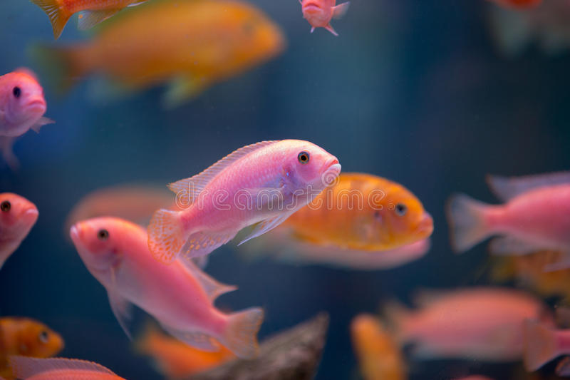 Pink fishes in the aquarium. A lot of pink fishes in the aquarium royalty free stock images