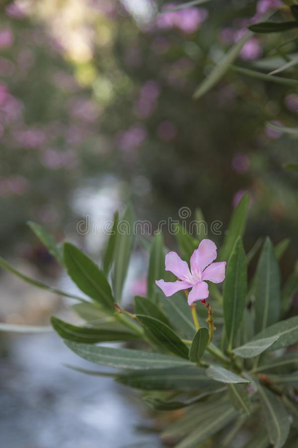 A pink five petaled flower in the morning sunlight at background of wild forest and mountain river. Selective focus.  stock images