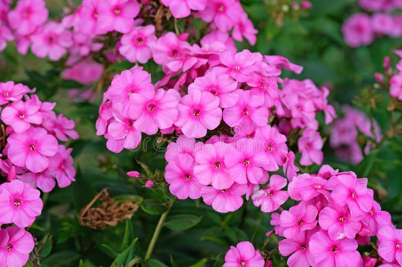 Pink flame flowers of phlox Phlox paniculata bush of flowers of Summer phlox. Herbaceous perennial in the garden close-up. Pink delicate flowers stock photography