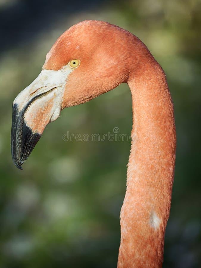 Pink flamenco profile. Phoenicopterus ruber, Caribbean Flamingo or Red Flamingo stock images