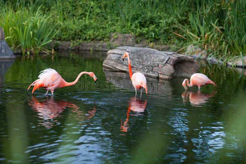 Download Pink flamingo stock image. Image of flamingo, comb, romance - 13095965