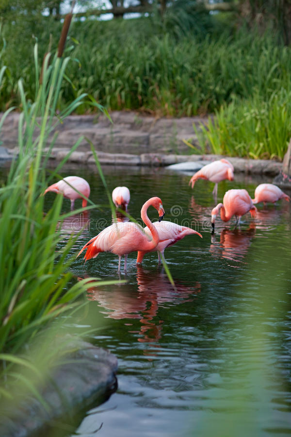 Download Pink flamingo stock image. Image of beautiful, elegance - 13095977