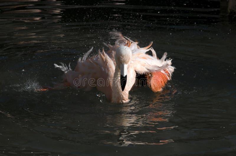 Download Pink flamingo stock image. Image of pond, spawning, shakes - 28393143
