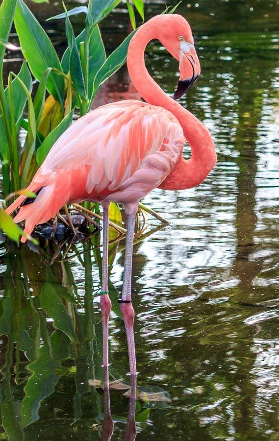 Free Pink Flamingo Royalty Free Stock Photo - 49349195