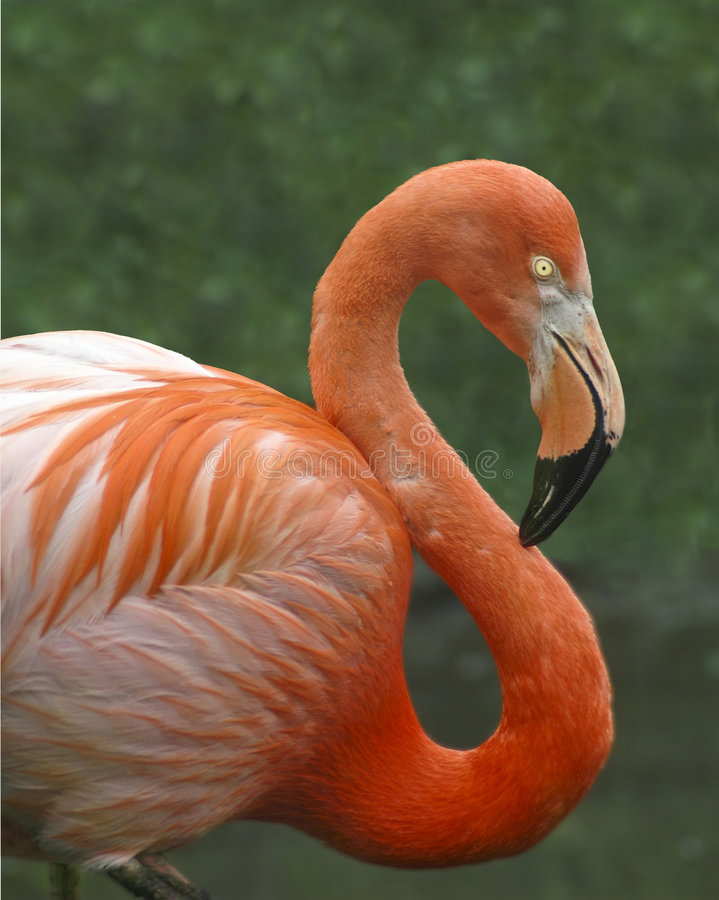 Free Pink Flamingo Royalty Free Stock Photo - 5082605