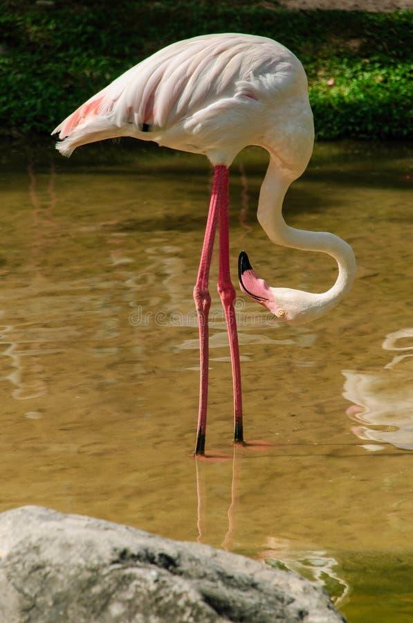 Download A  Pink Flamingo Stock Image - Image: 33551971