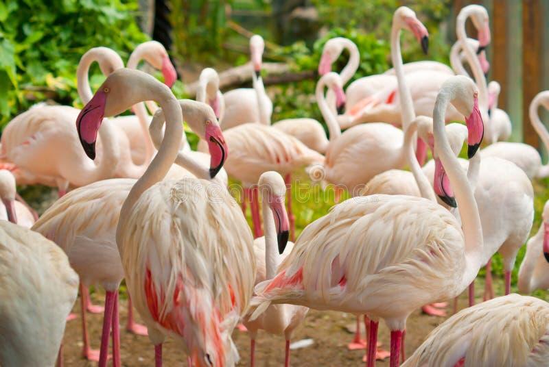 Flamingo. Pink Flamingo bird in the group stock photos