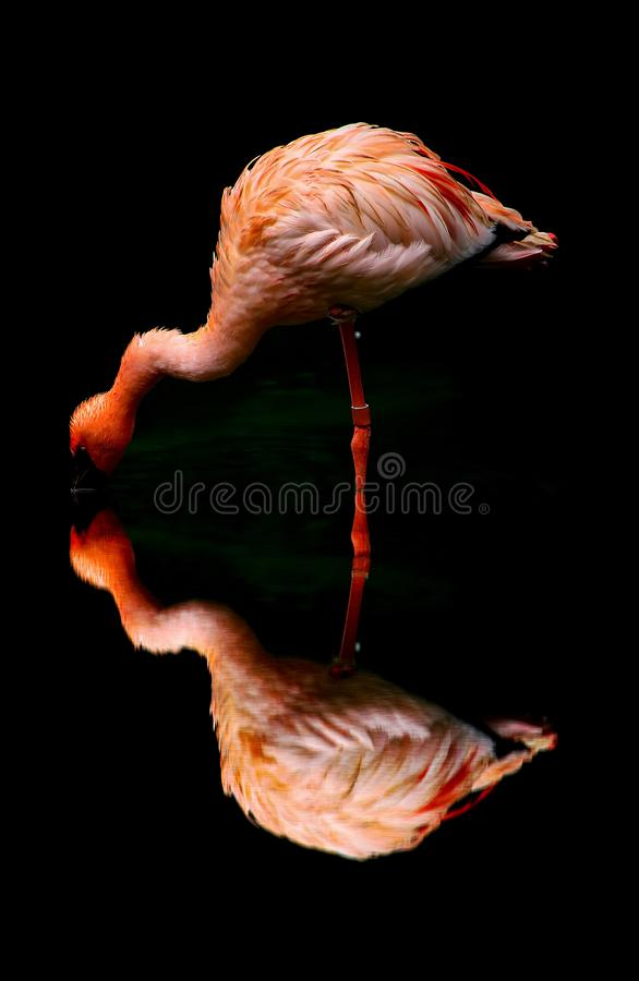 Pink flamingo bird and reflection royalty free stock photography